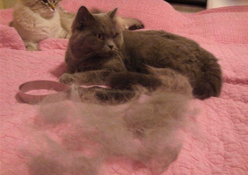 Линька у кошки: красота требует жертв