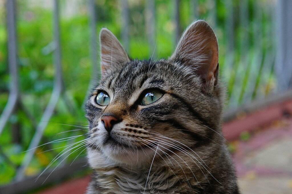 Бразильская кошка-короткошерстная, описание породы и 35 фото