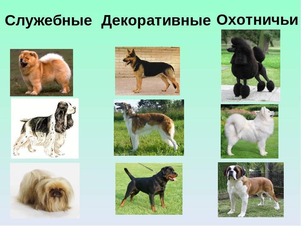 """Служебные породы собак: обзор популярных   блог ветклиники """"беланта"""""""