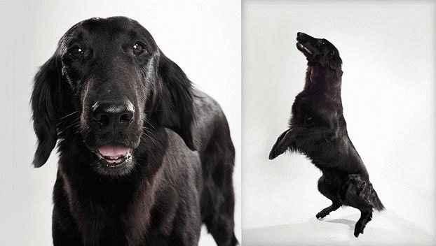 Флет ретривер – характер, фото и описание породы