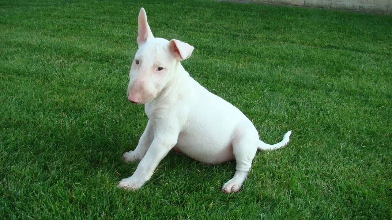 Бойцовские собаки - характер и темперамент, правильная дрессировка, возможность неконтролируемой агрессии