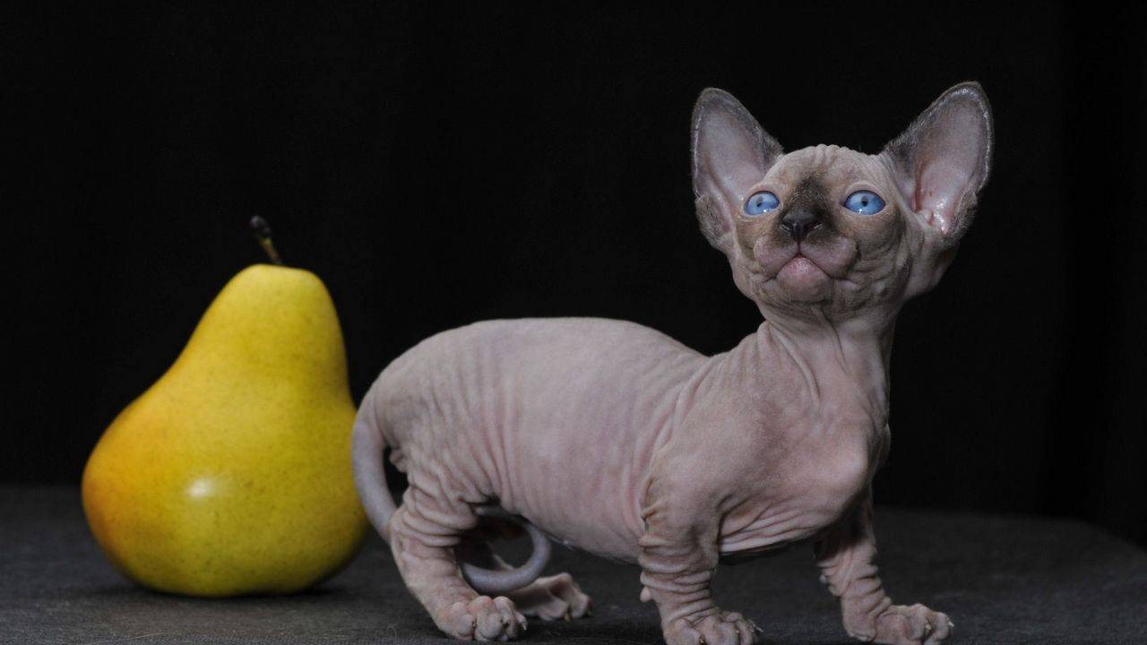 Самые маленькие кошки: топ 10 [фото и особености]