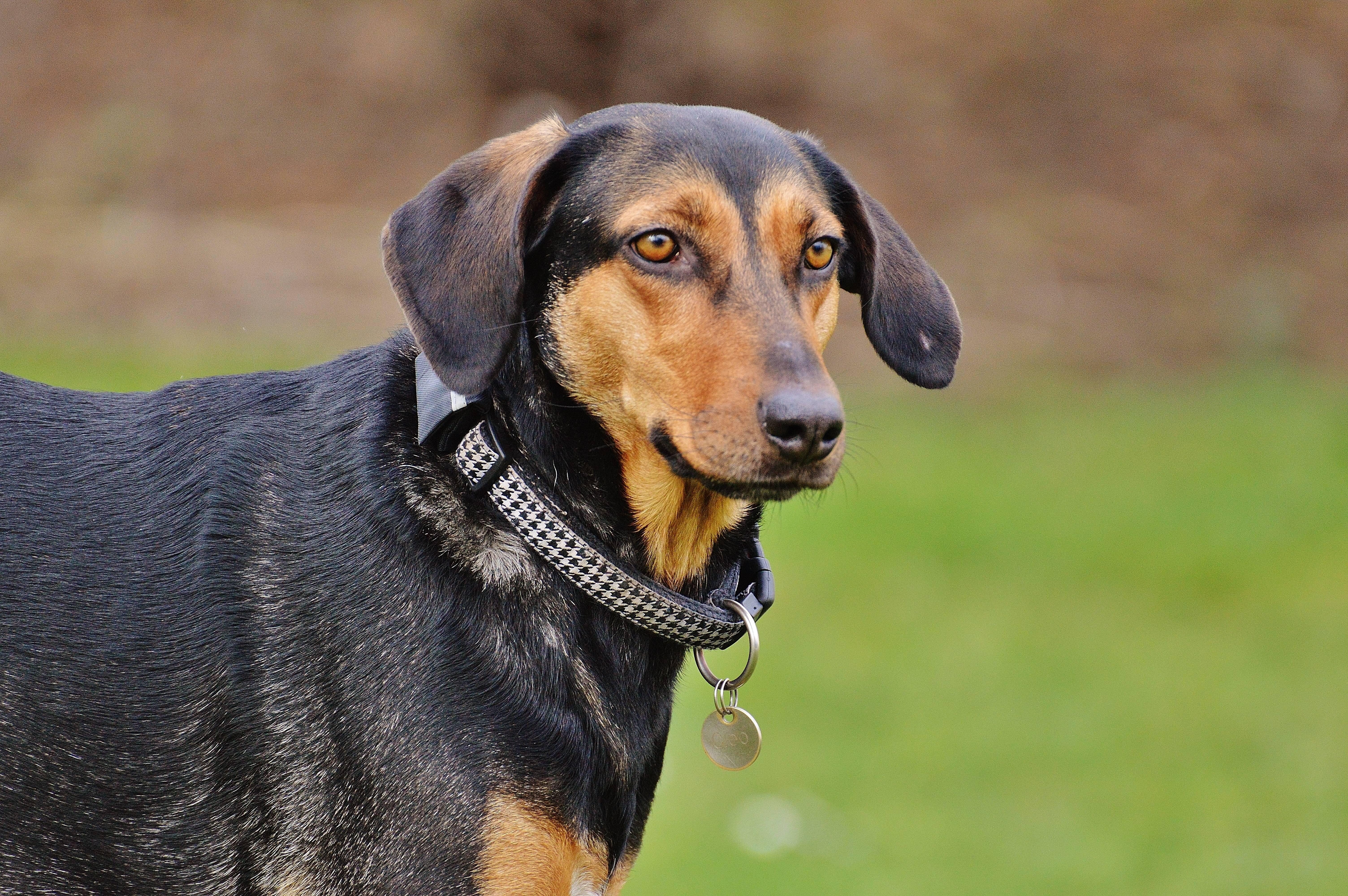 Эстонская гончая порода: описание, характер, фото | все о собаках