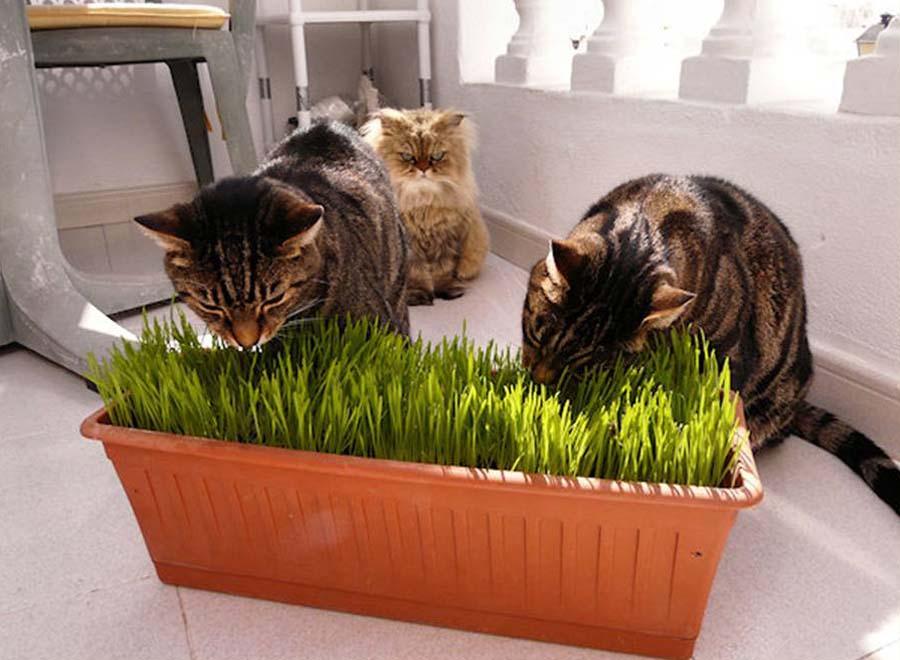 Кошка срыгивает шерсть – когда следует обратиться к ветеринару?