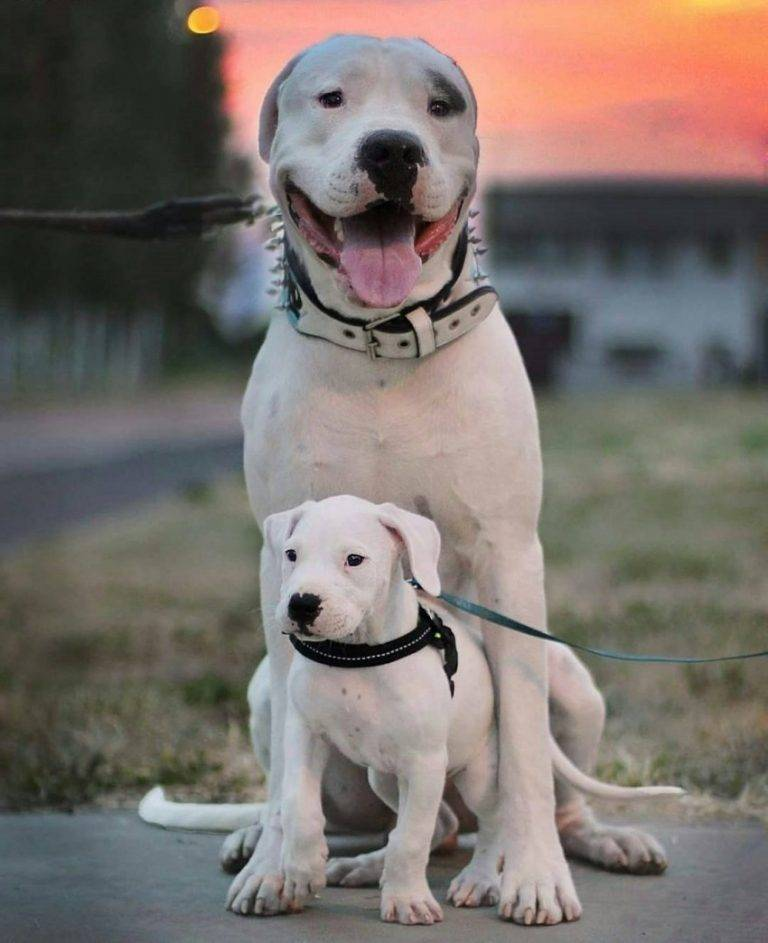 Собаки » породы » аргентинский дог
