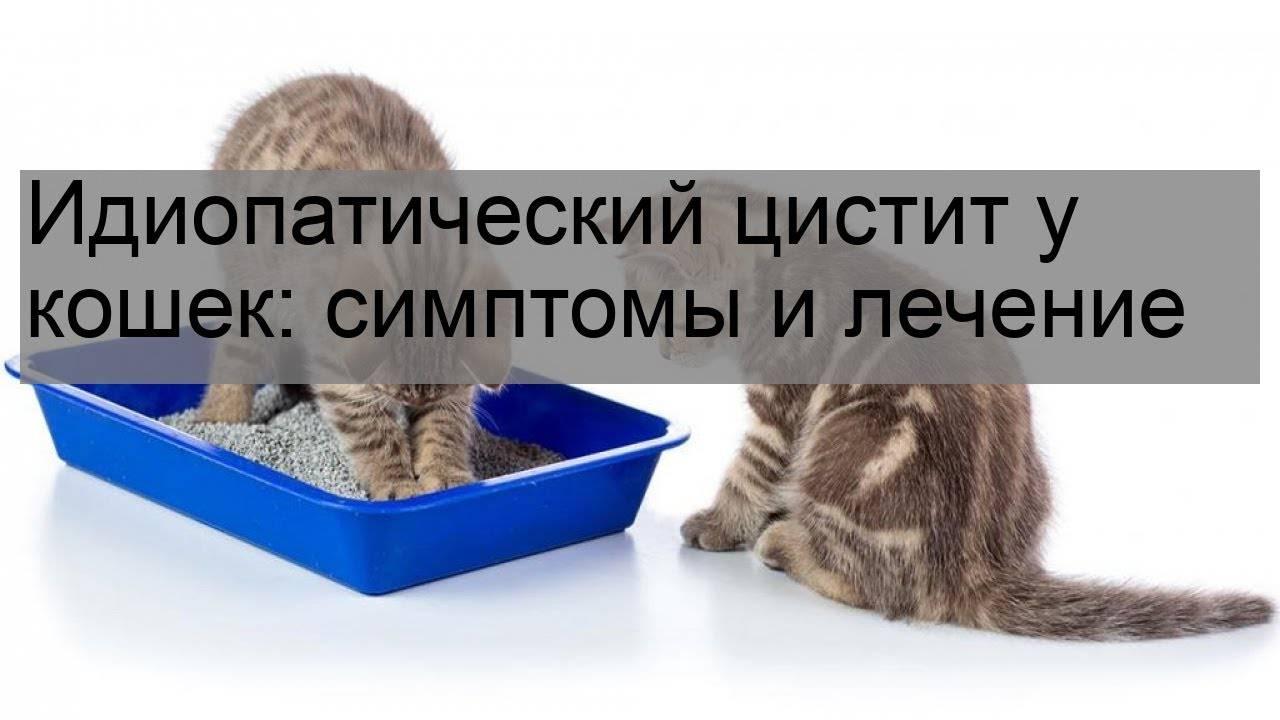 Идиопатический цистит кошек: симптомы, лечение, профилактика