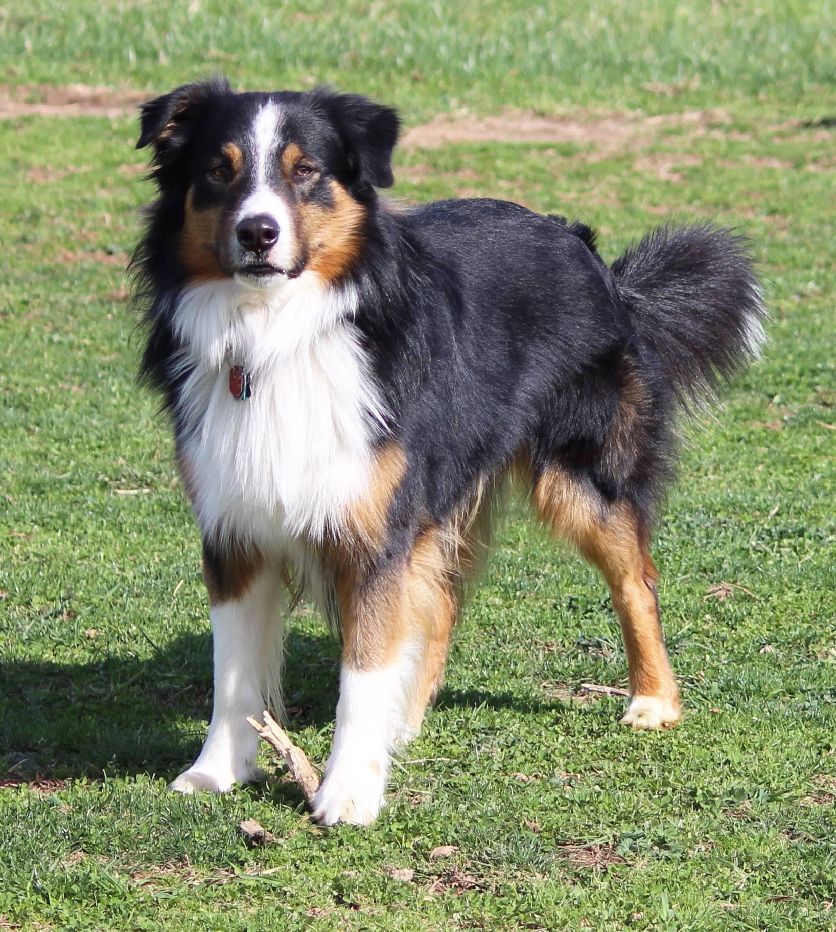 Английская овчарка: описание породы собак с фото и видео