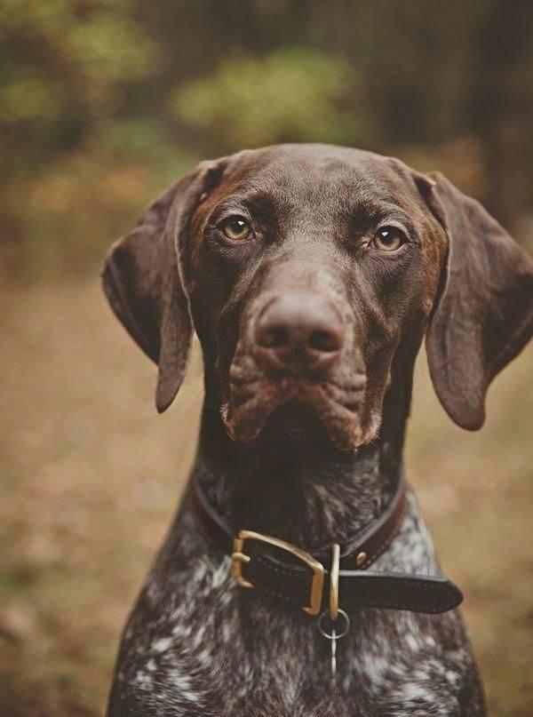 Курцхаар – фото собаки, описание породы, характер, цена щенков