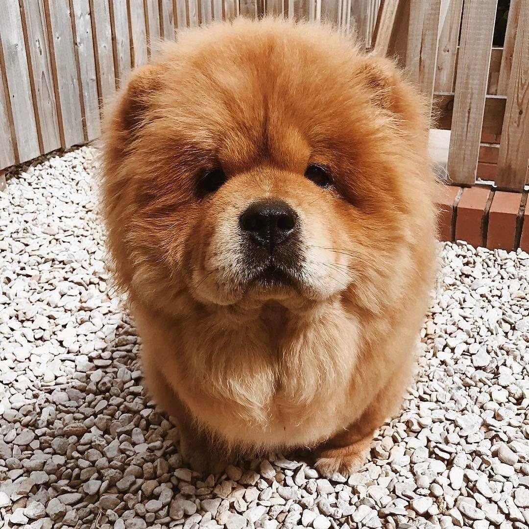 Собаки, как медведи: краткое описание пород - truehunter.ru