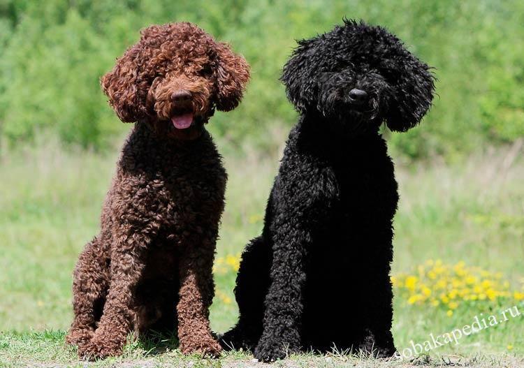 Порода собак барбет - описание, характер, характеристика, фото барбетов и видео французских водяных собак