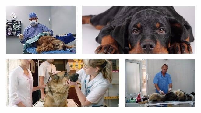 В каком возрасте стерилизуют собак? - отвечает  ветврач