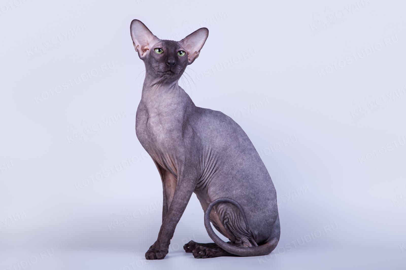 Петерболд: всё про породу кошек, фото, цена котёнка