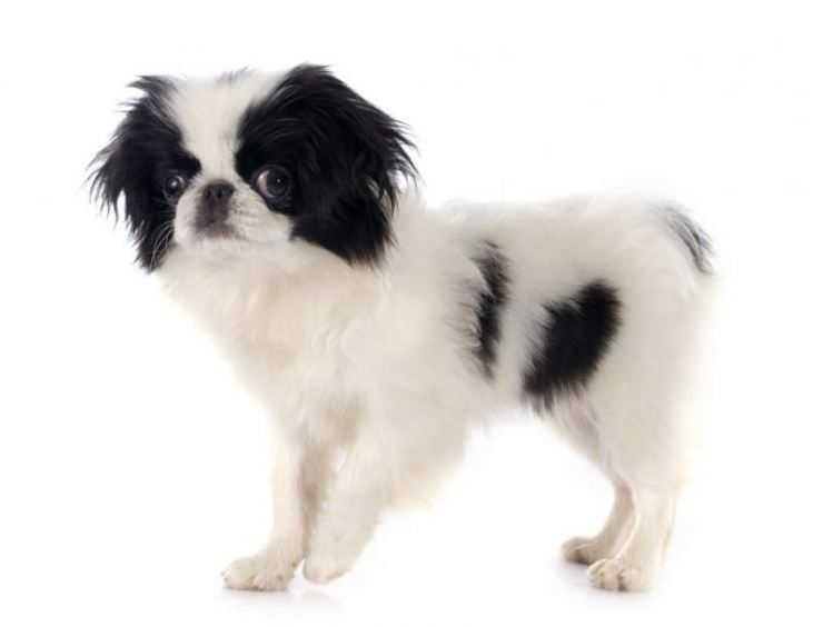 Японский хин: все о собаке, фото, описание породы, характер, цена
