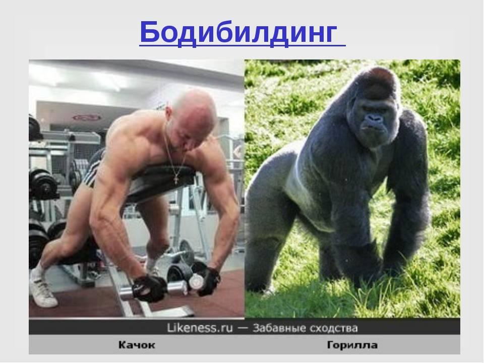 Какими успехами в жиме и тяге могла бы похвастаться горилла