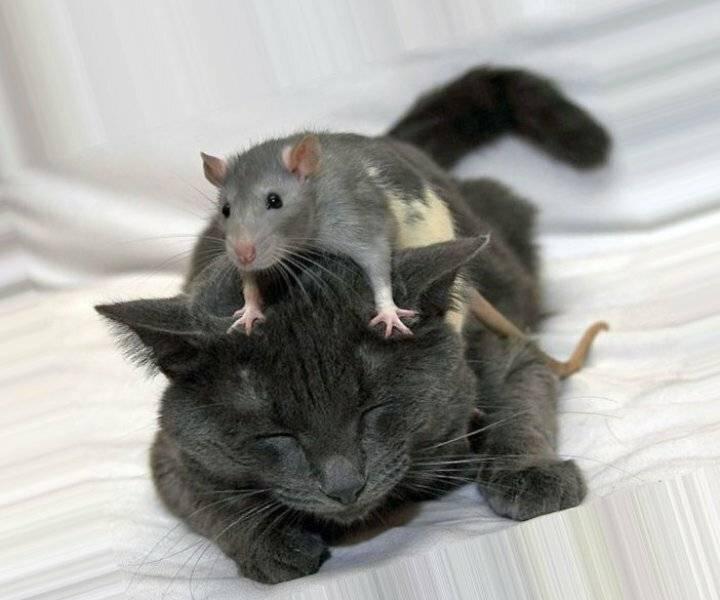 Породистые кошки, которые ловят грызунов лучше других