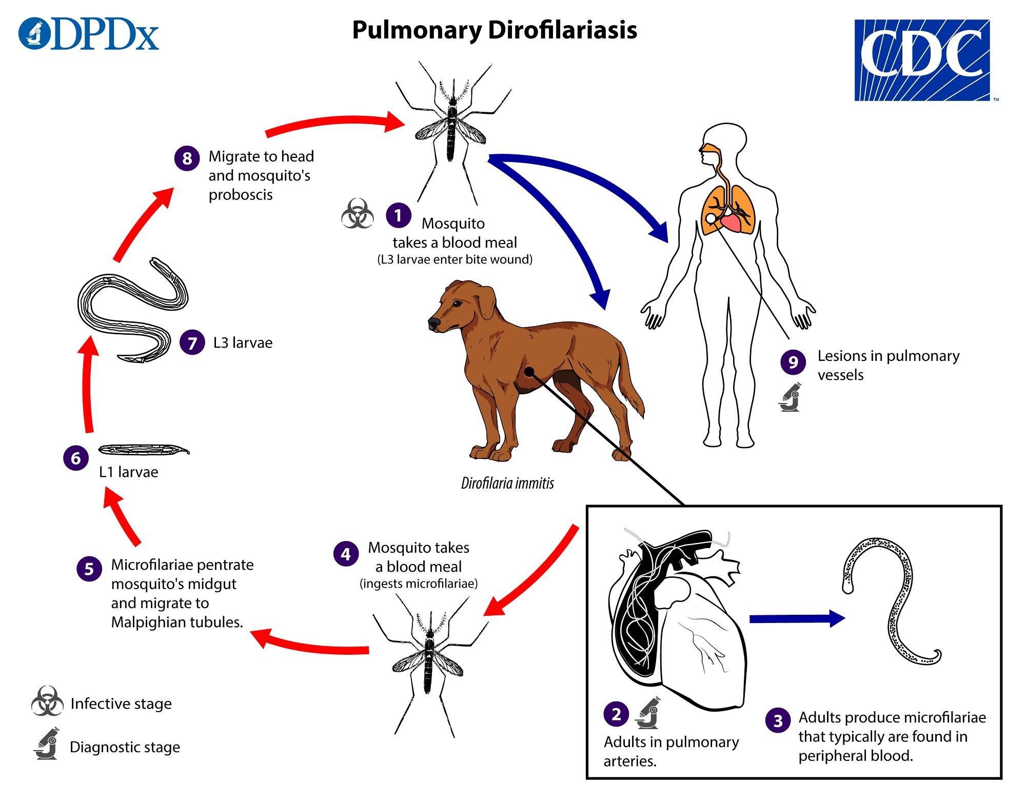Дирофиляриоз собак и кошек.