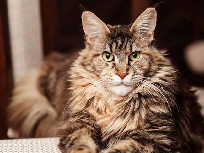 Кошка белка: название и описание породы с пушистым хвостом