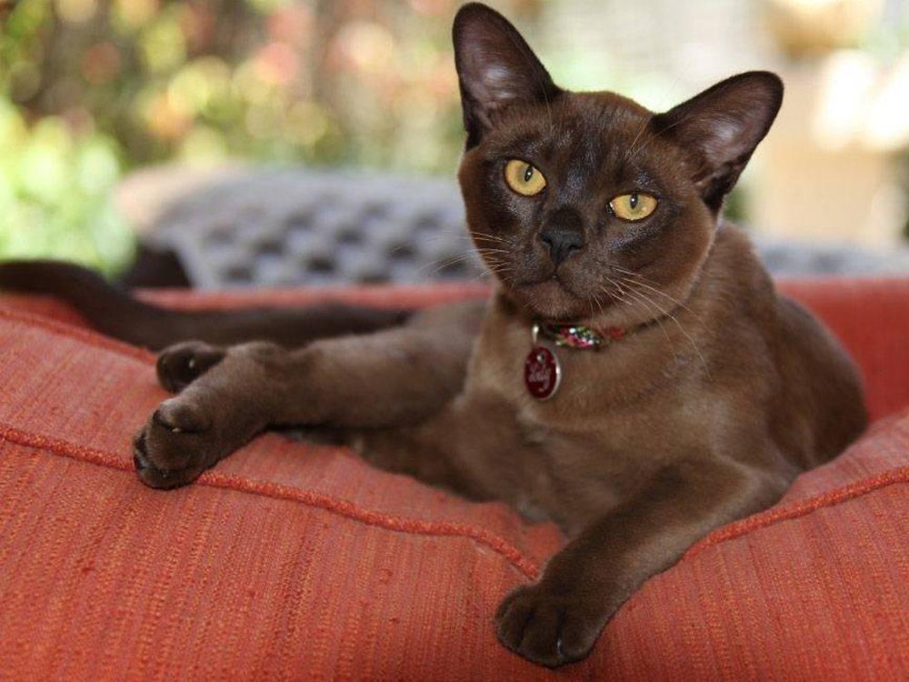 Бурма - 96 фото мощной и красивой кошки монахов из бирмы