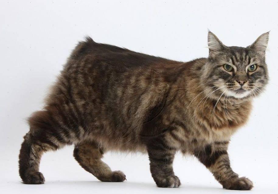 Кимрик: покупка котенка