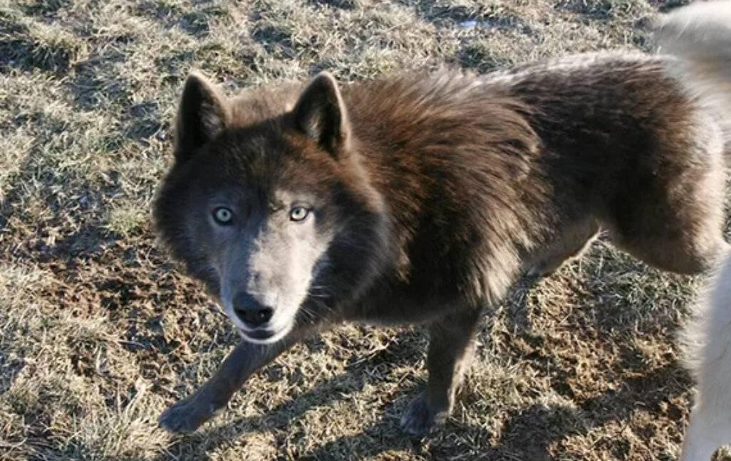 Волкособ: большой обзор гибридной породы (+ фото и видео)