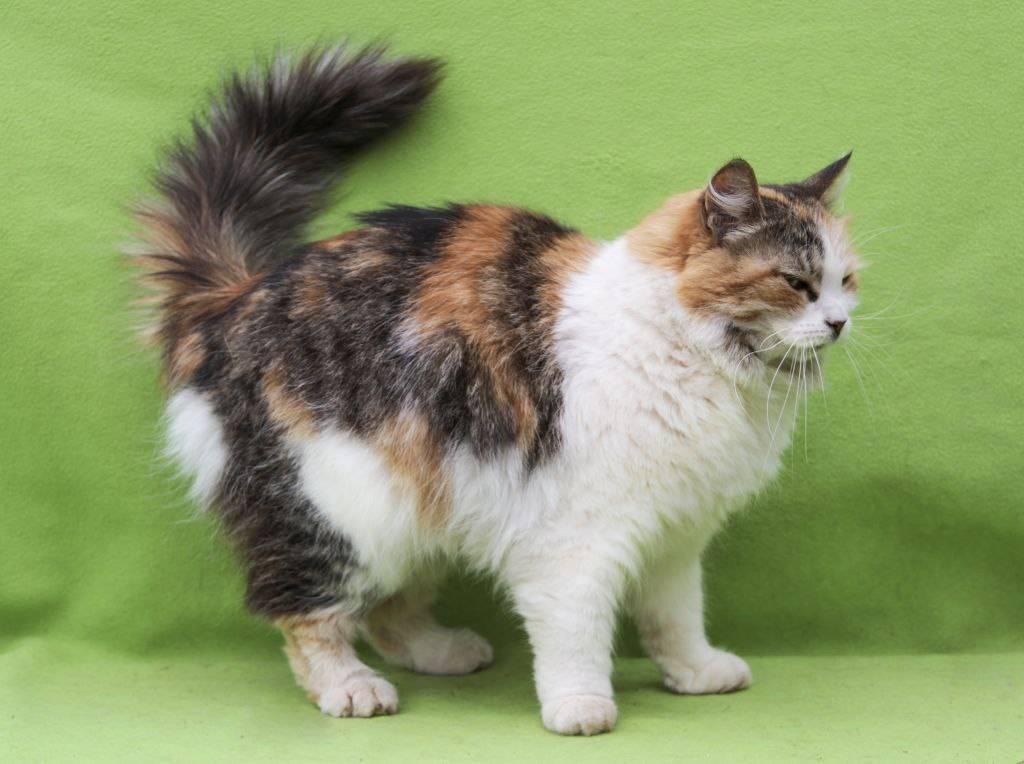 Кимрик: фото кошки, цена, описание породы, характер, видео, питомники