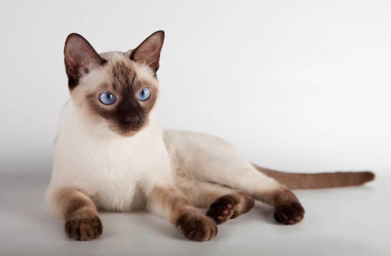 Тайская кошка - описание, окрас и характер породы, выращивание котят, уход и кормление