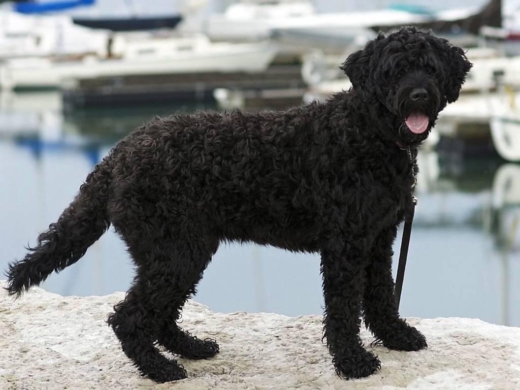 Пиренейская горная собака - порода собак - информация и особенностях | хиллс