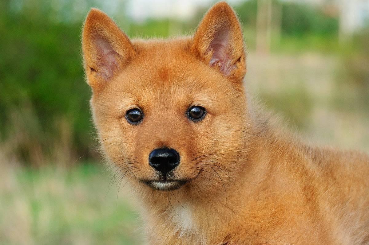 Какие бывают породы охотничьих собак: названия, краткое описание и фотографии