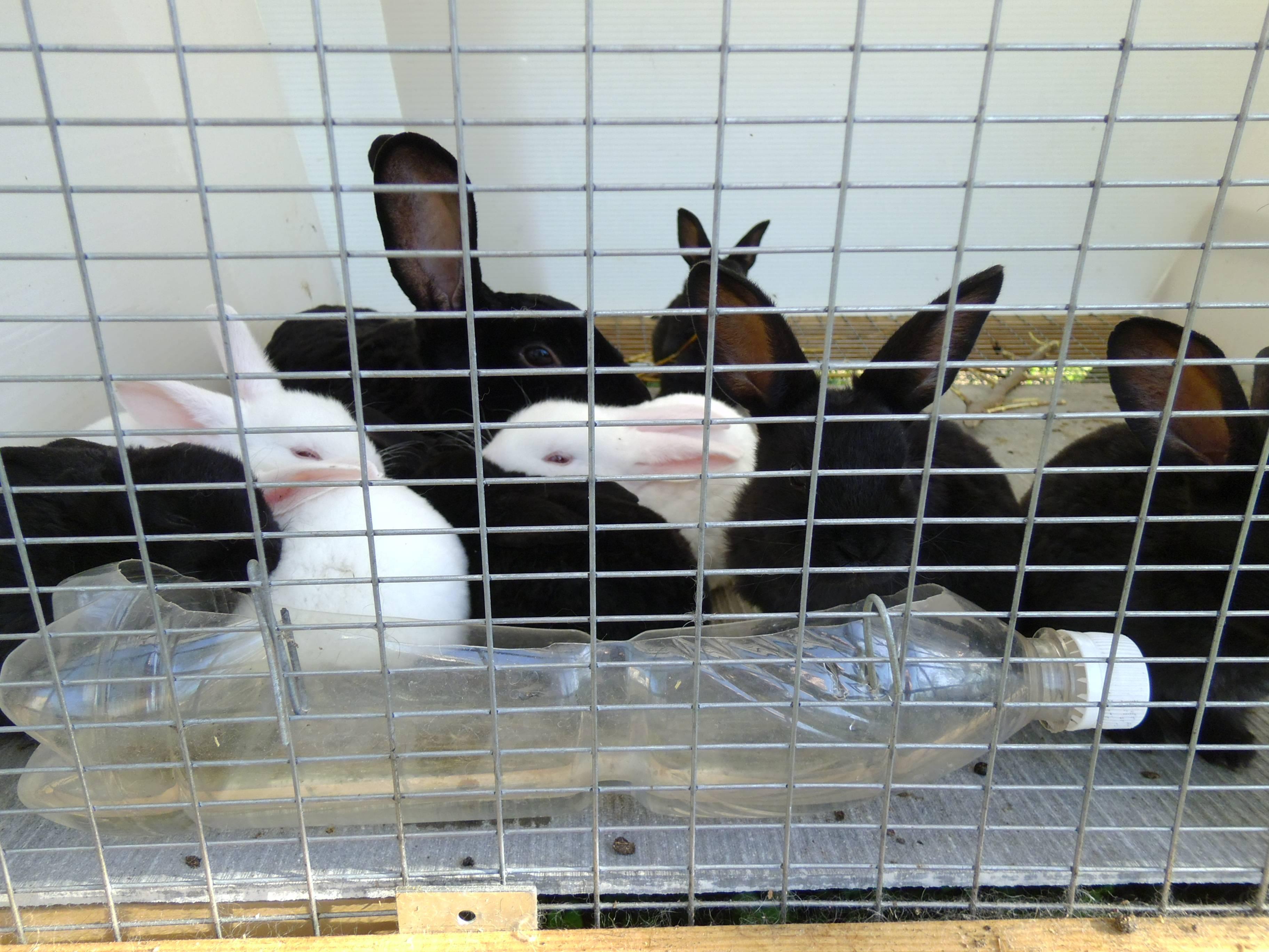 Разведение кроликов в домашних условиях для начинающих - полезные советы и рекомендации