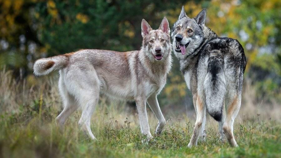 Как называются породы собак, которые очень похожи на настоящих волков