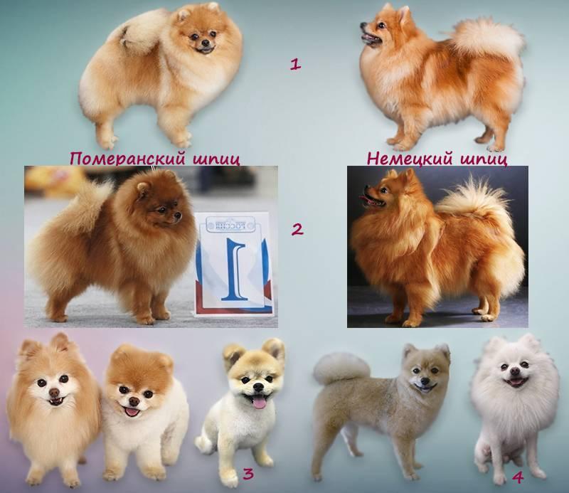 Померанский шпиц все о породе: типы, характер собаки, характеристика, цена