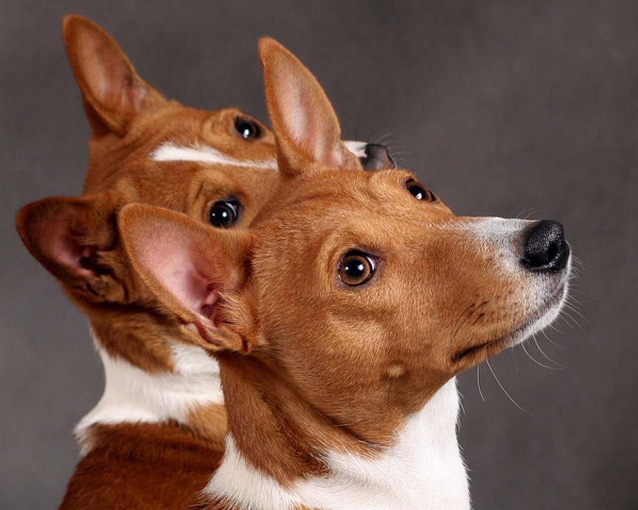 Породы собак, которые не лают: список и обзор