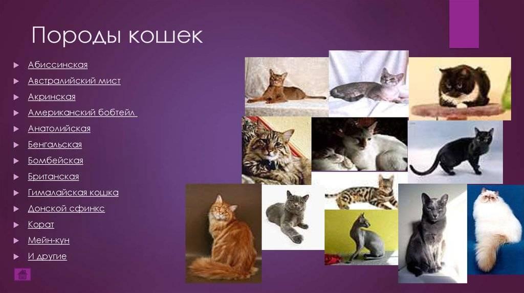 Самые редкие кошки: названия пород, их описания и фотографии