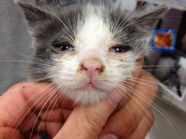 Ринотрахеит у кошек: симптомы и лечение вирусной инфекции в домашних условиях