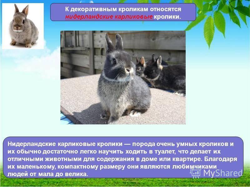 Породы карликовых кроликов, длительность их жизни, правила содержания