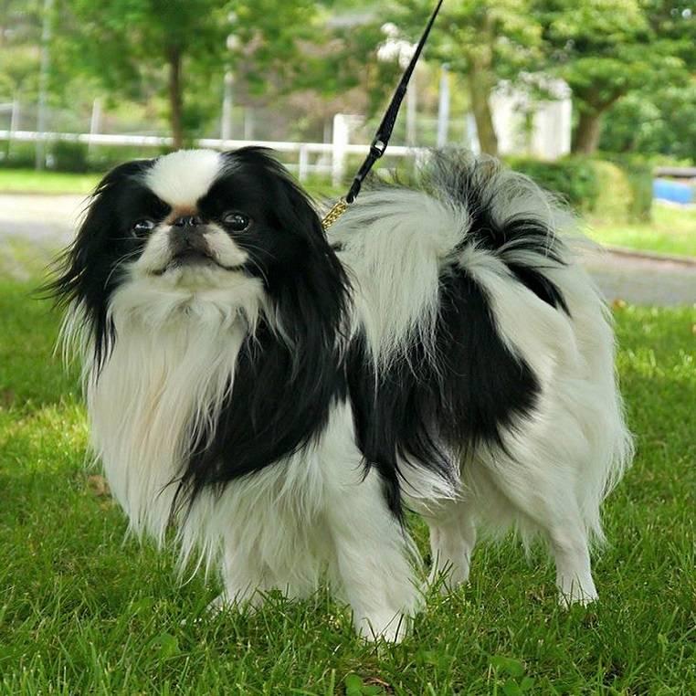 Японский хин: как выглядит питомец на фото, описание породы и характера и отзывы владельцев о плюсах и минусах собак