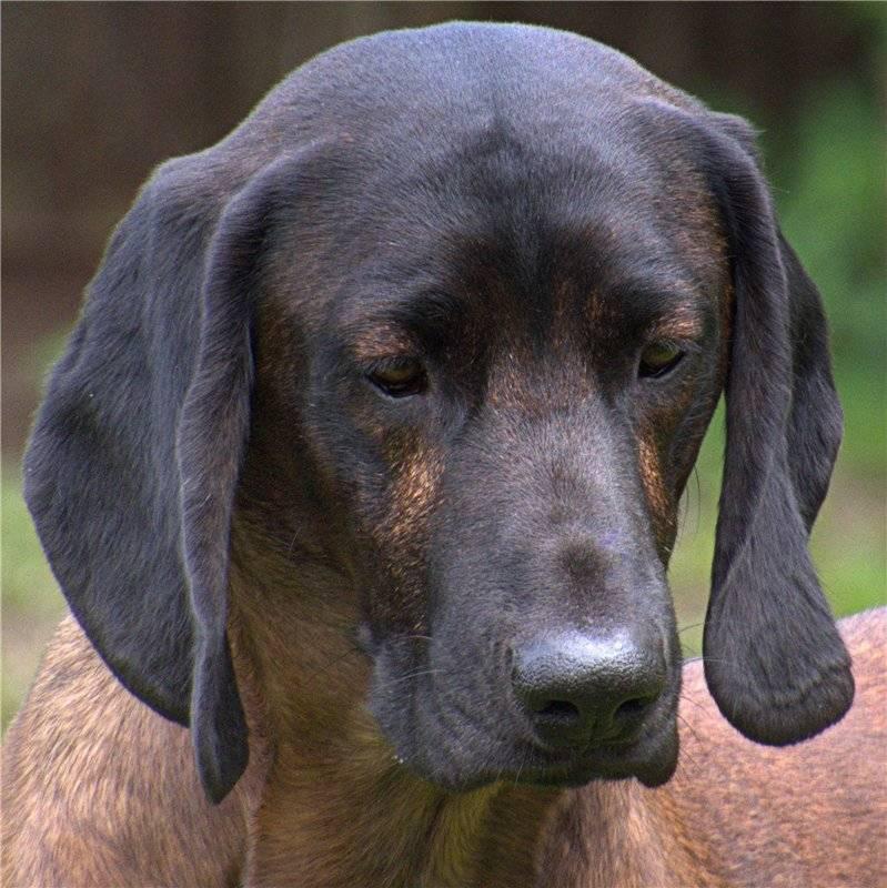 Швейцарская гончая: описание породы собак с фото и видео