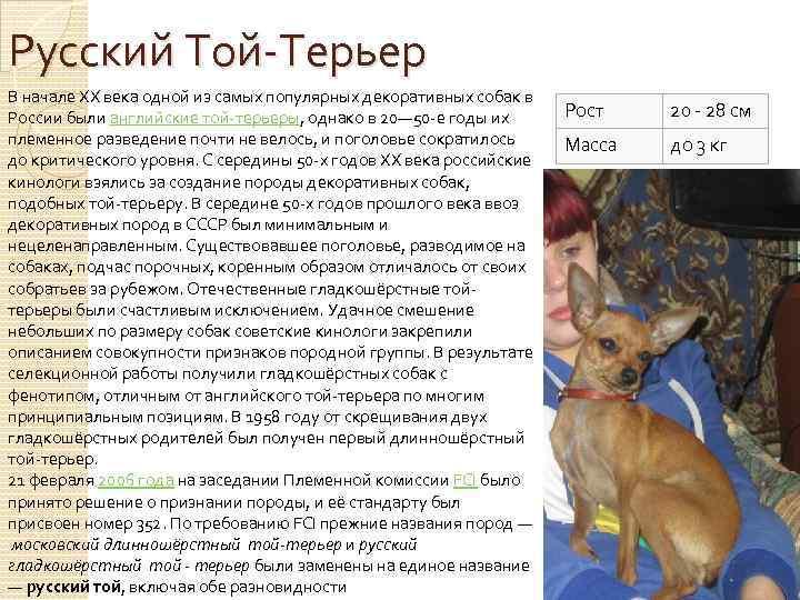 Русский той-терьер: фото, описание породы, характеристики и стандарты