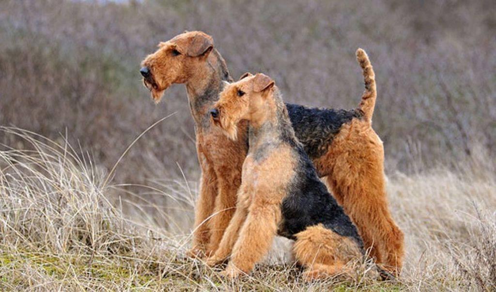 Эльдертерьер: описание породы, фото собак