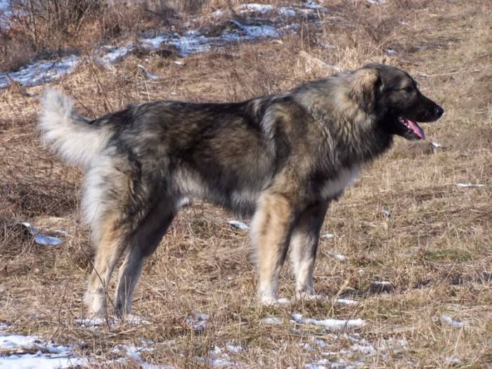 Wikizero - румынская карпатская овчарка