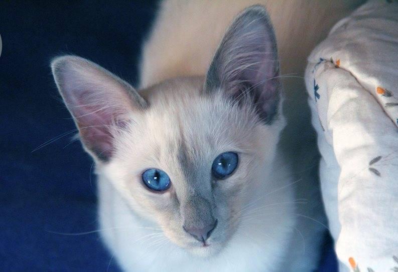 Балинезийская кошка — википедия. что такое балинезийская кошка