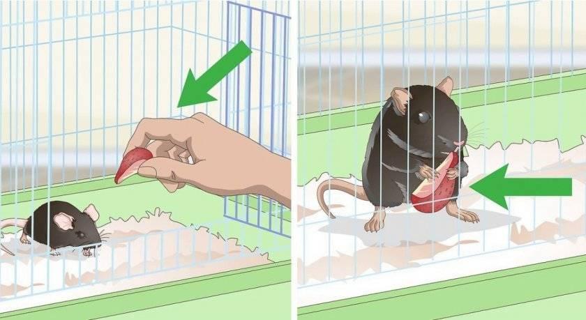 Как ухаживать за крысой в домашних условиях? - квартира, дом, дача - медиаплатформа миртесен
