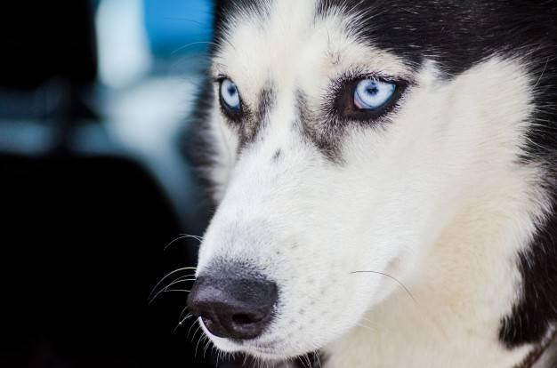 Стандарт породы — хаски с голубыми глазами. особенности цвета радужки собак, описание и фото