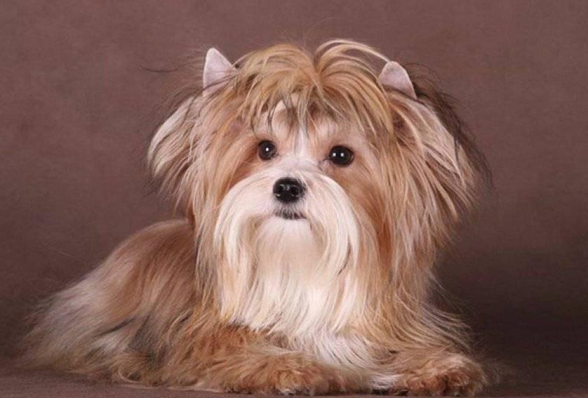Русская салонная собака: фото собаки, цена, описание породы, характер, видео русская салонная собака: фото собаки, цена, описание породы, характер, видео