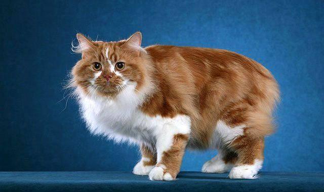 Кимрик (уэльская кошка) - описание породы и характер кошки