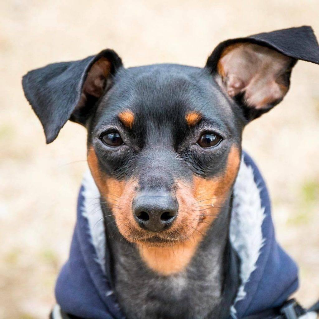 Цвергпинчер собака. описание, особенности, уход и цена цвергпинчера | sobakagav.ru