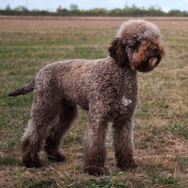 Португальская водяная собака - описание породы