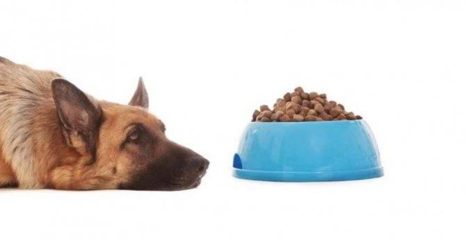 Почему собака не ест: причины отсутствия аппетита, лечение