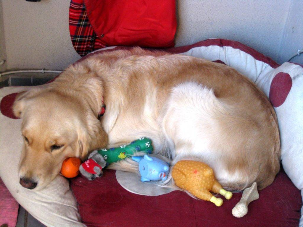 Ложная беременность (щенность) у собак