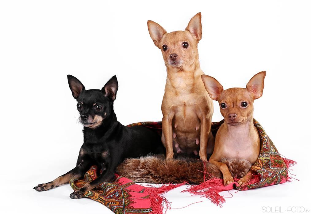 Порода собак русский той-терьер: бесстрашный малыш, душа компании ипутешественник